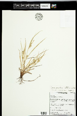 Image of Carex secalina
