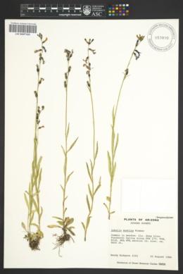 Lobelia anatina image