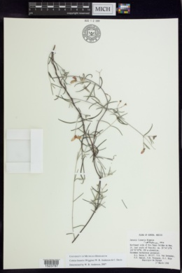 Cottsia linearis image