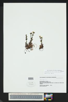 Saxifraga flagellaris subsp. crandallii image