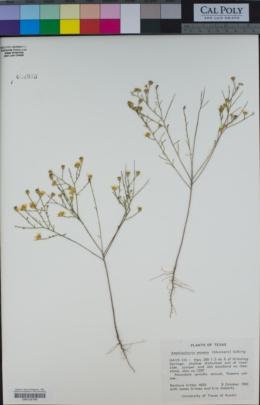 Amphiachyris amoena image