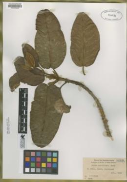 Image of Pelea multiflora