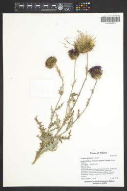 Image of Cirsium grahami