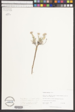 Erigeron awapensis image
