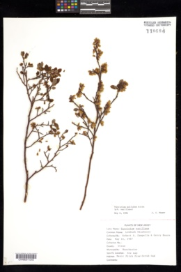 Vaccinium vacillans image