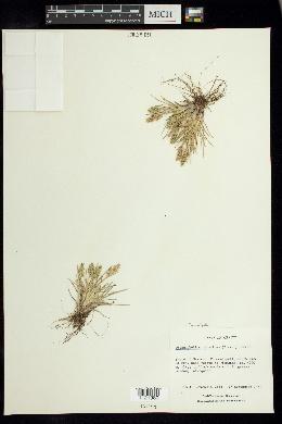 Dissanthelium calycinum image