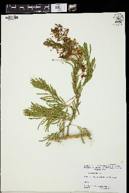 Image of Acacia picachensis