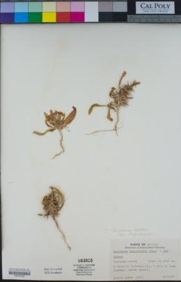 Eremothera boothii image