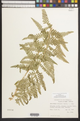 Dryopteris expansa image