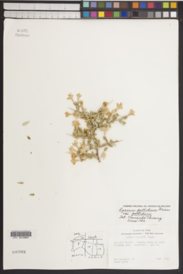 Lycium pallidum image