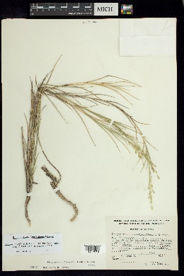 Kalinia obtusiflora image