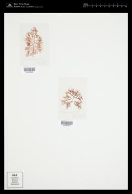 Pantoneura angustissima image