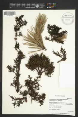 Arceuthobium rubrum image