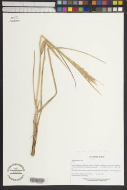 Leymus mollis subsp. villosissimus image