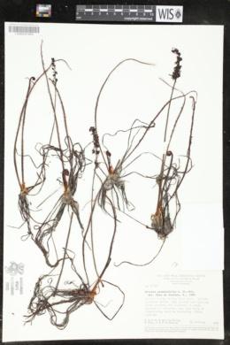 Image of Drosera graminifolia