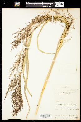Image of Coleataenia stipitata
