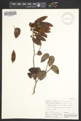 Bauhinia herrerae image