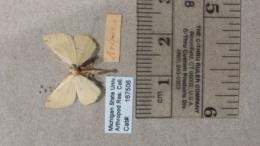 Chloraspilates bicoloraria image