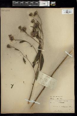 Image of Vernonia crinita
