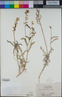 Image of Astragalus congdonii