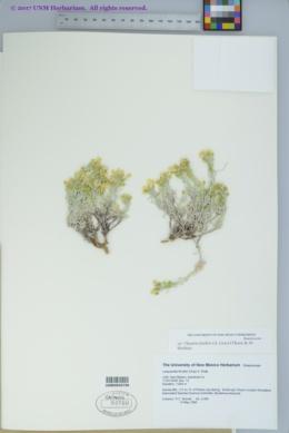 Physaria fendleri image