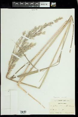 Tripidium ravennae image
