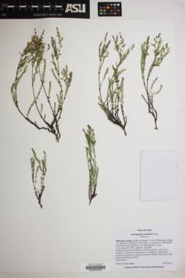 Astragalus multiflorus image