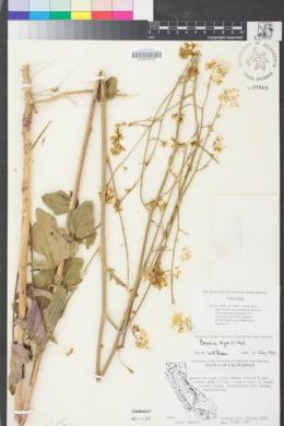 Image of Brassica nigra