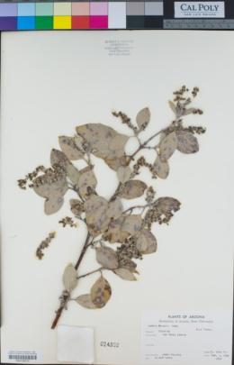 Garrya wrightii image