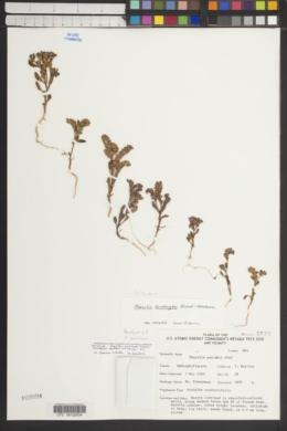 Phacelia beatleyae image