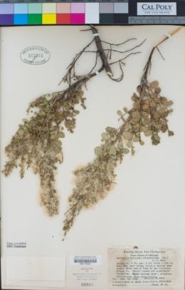 Baccharis pilularis subsp. consanguinea image