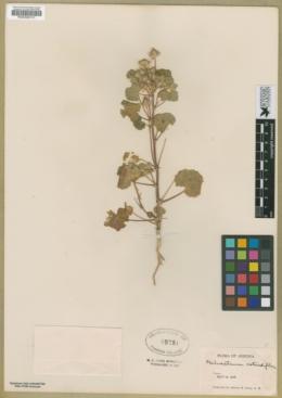 Eremalche rotundifolia image