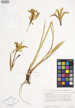 Iris purdyi image