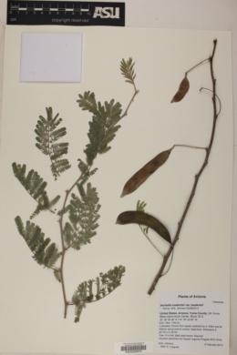 Image of Vachellia luederitzii