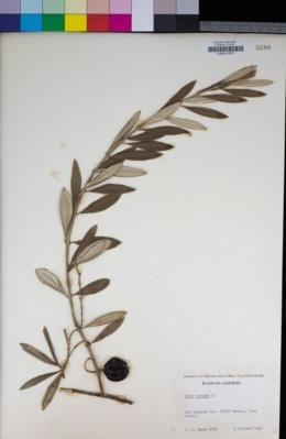 Olea europaea image