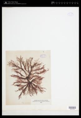 Image of Polysiphonia funicularis