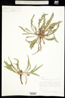 Oenothera flava var. flava image