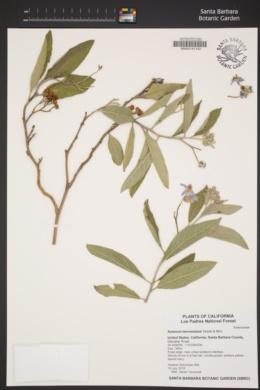 Image of Solanum lanceolatum