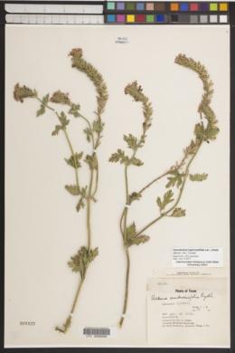 Glandularia bipinnatifida var. ciliata image