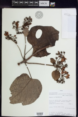Image of Stigmaphyllon cuzcanum
