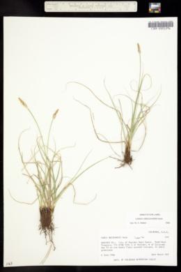 Carex oreocharis image