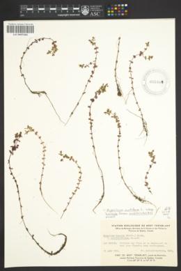 Hypericum mutilum subsp. boreale image