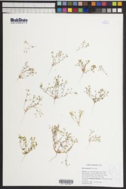 Image of Gilia inyoensis