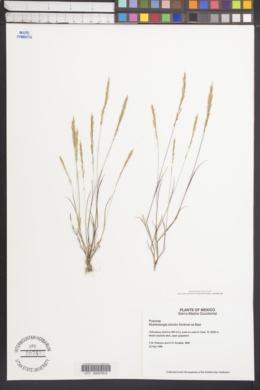 Image of Muhlenbergia strictior