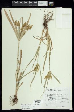 Cyperus hermaphroditus image