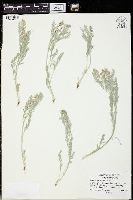 Image of Astragalus lyallii