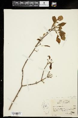 Forestiera acuminata image