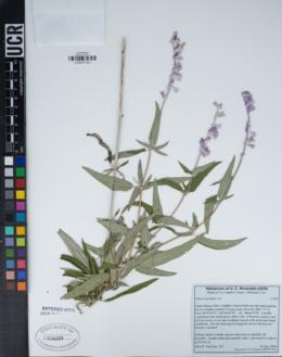 Salvia leucantha image