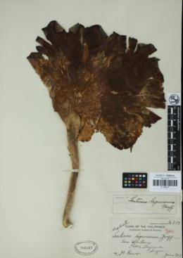 Lentinus lagunensis image