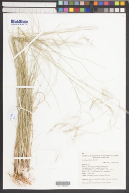 Image of Aristida echinata
